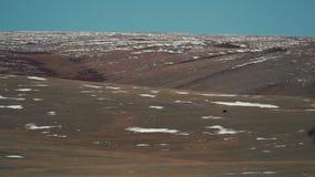 Der Argali die Bergschafe, Schafe ist auf einem schneebedeckten Bergabhang Nationalpark Saylyugemsky Reine Spekulation stock footage