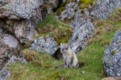 Der arktische Fuchs sitzt unter einem Felsen nahe seinem Loch Stockfotografie