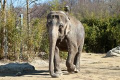 Der asiatische Elefant, Elephas maximus nannte auch Asiaticelefanten lizenzfreie stockfotos