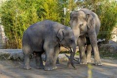 Der asiatische Elefant, Elephas maximus nannte auch Asiaticelefanten stockfotos