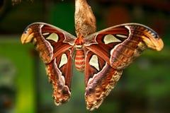 Der Atlasspinner Attacus-Atlas, schöner großer Schmetterling lizenzfreie stockfotografie