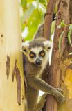 Der Aufstieg des Lemur (Lemuriformes) Lizenzfreie Stockfotografie