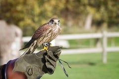 Der ausgebildete Falke, benutzt im Sport von Falknerei, Stände hockte auf t Lizenzfreies Stockfoto