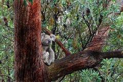 Der australische wilde Koala u. geben im Großen alten Gummibaum frei Stockfotografie