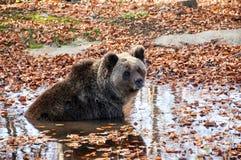 Der Bär schwimmt im Teich Lizenzfreie Stockfotografie