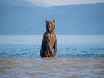 Der Bär steht auf seinen Hinterbeinen Stockfotografie