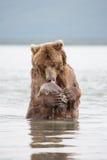 Der Bär steht auf seinen Hinterbeinen Stockfoto