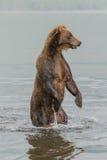 Der Bär steht auf seinen Hinterbeinen Stockfotos