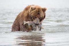 Der Bär wurde gefangen und Fischlachse isst Stockfoto