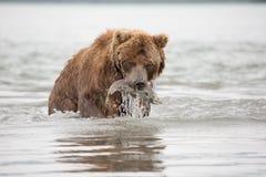 Der Bär wurde gefangen und Fischlachse isst Stockbild