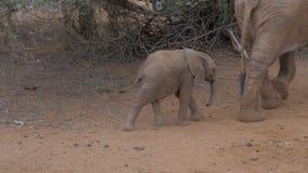 Der Baby-Elefant, der nach der Mutter, sein Stamm geht, fängt ihr Bein stock video footage