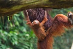 Der Babyorang-utan, der Mütter hält, blähen auf, während Mutter von Baum zu Baum springt lizenzfreies stockfoto
