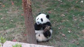 Der Babypanda, der Bambus isst, verlässt in Sichuan Panda Reserve Stockbilder