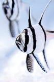 Der Banggai-Cardinalfish Lizenzfreie Stockbilder