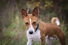 Der Basenji-Hund geht in den Park Stockfotografie