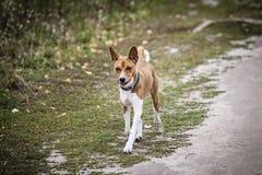Der Basenji-Hund geht in den Park Stockbild