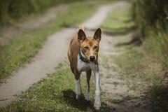 Der Basenji-Hund geht in den Park Lizenzfreie Stockfotos