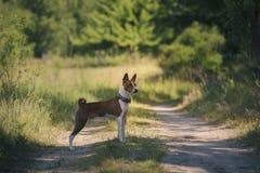 Der Basenji-Hund geht in den Park Lizenzfreie Stockfotografie