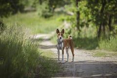 Der Basenji-Hund geht in den Park Stockbilder