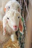 Der Bauernhof. Weiße Schafe Stockfoto