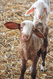 Der Bauernhof. Weiße Schafe Lizenzfreies Stockbild
