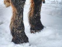 Der Bauernhofpferdeaufenthalt im Schnee Stunden und Landschaft stockbilder