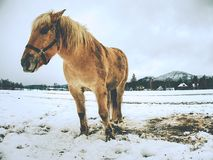 Der Bauernhofpferdeaufenthalt im Schnee Stunden und Landschaft lizenzfreies stockbild