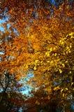 der Baumüberdachung im Herbst oben betrachten Stockfoto