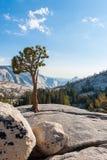 Der Baum auf dem Felsen in Yosemite-Park lizenzfreies stockbild