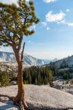 Der Baum auf dem Felsen in Yosemite-Park lizenzfreie stockfotos