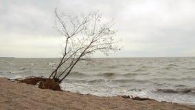 Der Baum auf dem Strand nach dem Sturm stock video