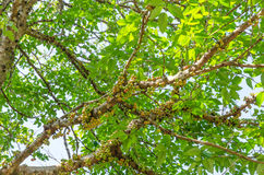 Der Baum des Waldes im trockenen immergrünen Wald stockfotografie