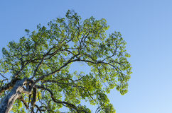Der Baum des Waldes und der blaue Himmel stockfotos
