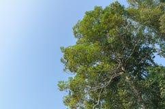 Der Baum des Waldes und der blaue Himmel im trockenen immergrünen Wald lizenzfreie stockbilder