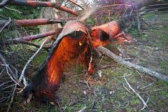 Der Baum gebrannt mit Donner Lizenzfreie Stockfotografie