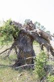 Der Baum ist durch einen Blitz defekt Stockfoto