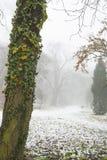 Der Baum mit grünem Efeu im Park im Winter Stockbild