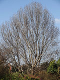 Der Baum ohne Blätter Lizenzfreies Stockbild