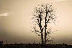 Der Baum starb im Abendhimmel bei Sonnenuntergang Stockfoto