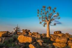 Der Bebenbaum oder Aloe dichotoma, Keetmanshoop, Namibia lizenzfreies stockfoto