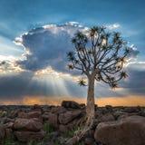 Der Bebenbaum oder Aloe dichotoma, Keetmanshoop, Namibia stockfoto