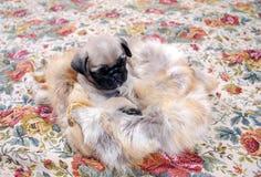 Der beige Welpe Mopsa sitzt in einer Tasche vom Fuchspelz Stockfotos