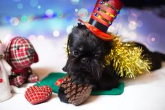 Der belgische Griffon in einem Weihnachtskostüm Stockbild