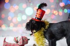 Der belgische Griffon in einem Weihnachtskostüm Lizenzfreie Stockbilder