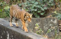 Der Bengal-Tiger Lizenzfreie Stockfotos