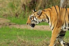 Der Bengal-Tiger stockfoto