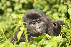 Der Berggorilla, der auf dem grünen Busch, Porträt sitzt Lizenzfreies Stockfoto
