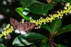 Der beschmutzte flache Schmetterling des Schnees Lizenzfreie Stockbilder