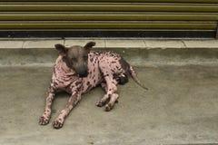 Der beschmutzte rosa Hund Stockbild