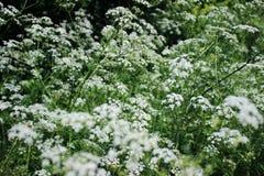 Der Betriebsschierling Umbelliferae Blühende kleine weiße Blumen Stockfoto